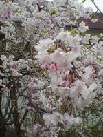 Sakura041_1